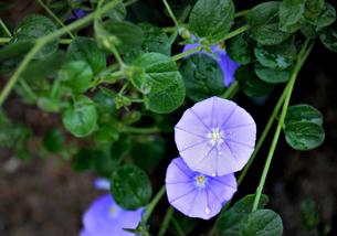 紫の花の写真素材 [FYI00655425]