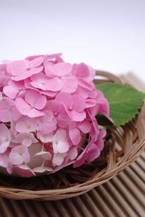 ピンク色のアジサイの和風アレンジメントの写真素材 [FYI00655849]