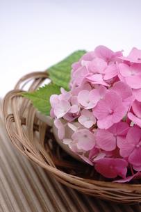 ピンク色のアジサイの和風アレンジメントの写真素材 [FYI00655851]