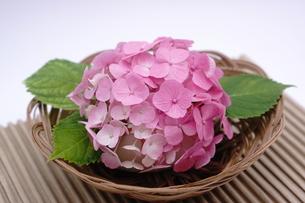 ピンク色のアジサイの和風アレンジメントの写真素材 [FYI00655852]