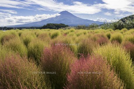 色づくコキア畑の写真素材 [FYI00655858]