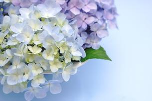 紫陽花のフラワーアレンジメントの写真素材 [FYI00655870]