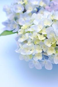紫陽花のフラワーアレンジメントの写真素材 [FYI00655871]