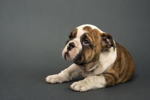 English bulldog puppyの写真素材 [FYI00656319]