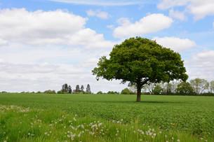 Lone oak tree in a fieldの写真素材 [FYI00656355]