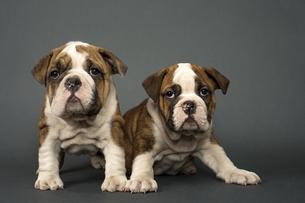 English Bulldogsの写真素材 [FYI00656657]