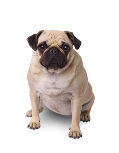 pug dog isolated on white backgroundの写真素材 [FYI00656741]