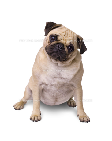 breed dog pug isolated on white backgroundの写真素材 [FYI00656745]