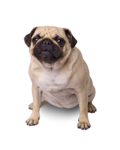 breed dog pug isolated on white backgroundの写真素材 [FYI00656746]