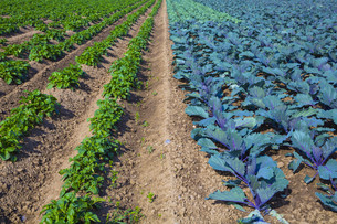 potato field and red cabbage fieldの写真素材 [FYI00656887]