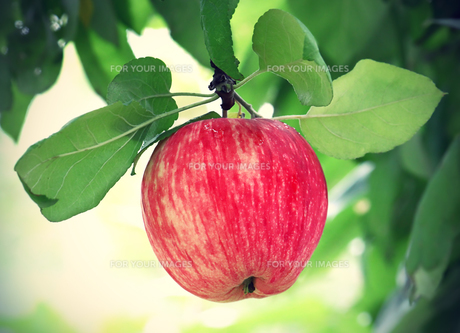 bright tasty appleの写真素材 [FYI00657682]