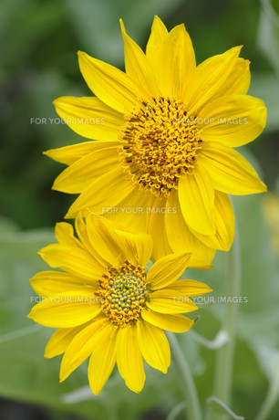 Sun Flowers in Yellowstone National parkの写真素材 [FYI00657790]