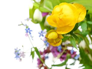 yellow trollius flowers in posy close upの写真素材 [FYI00658159]