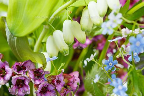 forget-me-not, bergenia, polygonatum plantsの写真素材 [FYI00658163]