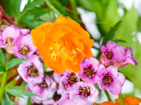 decorative Trollius and bergenia flowers close upの写真素材 [FYI00658164]