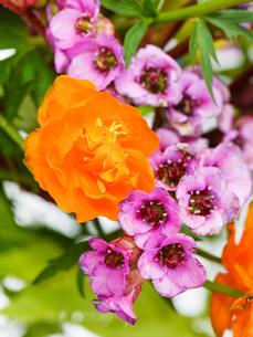 garden Trollius and bergenia flowers close upの写真素材 [FYI00658165]