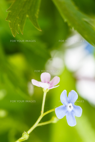 green grass and blue and pink forget-me-not flowerの写真素材 [FYI00658168]