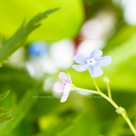 blue and pink forget-me-not flowers on green lawnの写真素材 [FYI00658169]
