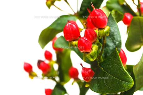 fruits of hypericum plant close up with copyspaceの写真素材 [FYI00658170]