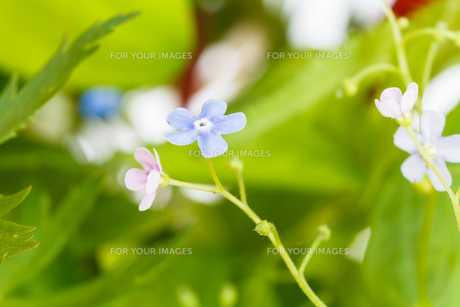 blue and pink forget-me-not flowers on meadowの写真素材 [FYI00658173]