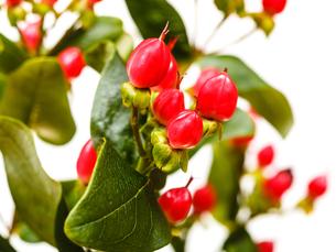 red fruits of hypericum flowerの写真素材 [FYI00658174]