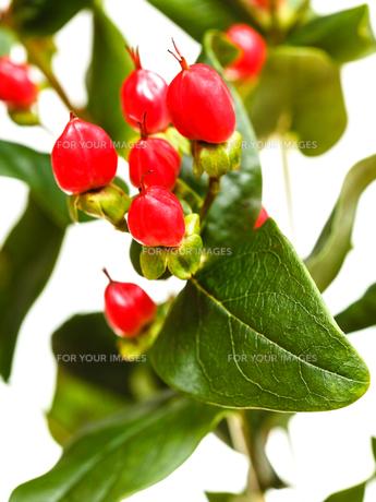 red seeds of hypericum plantの写真素材 [FYI00658176]