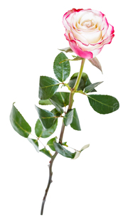 one natural pink rose flower isolated on whiteの素材 [FYI00658183]