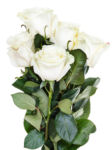 side view of bunch of white roses isolatedの写真素材 [FYI00658184]