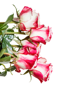 side view of bunch of pink roses isolated on whiteの写真素材 [FYI00658186]
