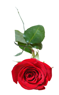 red rose flower close up isolated on whiteの写真素材 [FYI00658192]