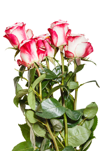 side view armful of pink roses isolated on whiteの写真素材 [FYI00658194]