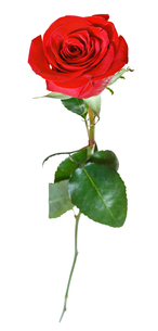 one red rose flower isolated on whiteの素材 [FYI00658195]