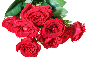 bunch of red roses isolated on whiteの写真素材 [FYI00658196]