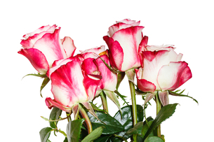 side view of bouquet of pink roses isolatedの写真素材 [FYI00658197]