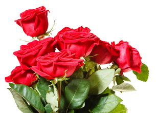 side view of bunch of red roses isolatedの写真素材 [FYI00658198]