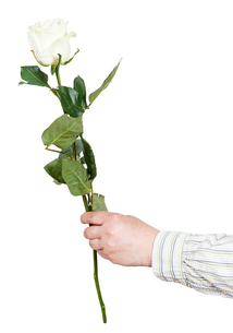 hand holds one flower - white rose isolatedの写真素材 [FYI00658200]