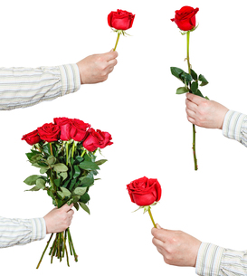 set of red rose flowers in hand isolated on whiteの写真素材 [FYI00658242]