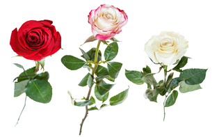 set from three rose flowers isolated on whiteの写真素材 [FYI00658249]