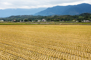 Harvested golden rice field in winterの写真素材 [FYI00658682]