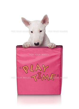 puppy in match boxの写真素材 [FYI00658705]