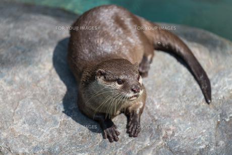 Cute River Otterの写真素材 [FYI00658900]