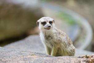Meerkatの写真素材 [FYI00658902]