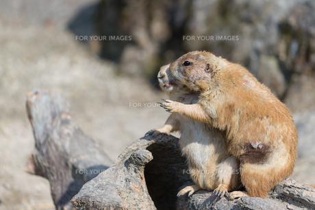 Hugging Prairie Dogsの写真素材 [FYI00658905]