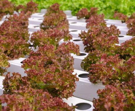 Hydroponic red leaf lettuce vegetables plantationの写真素材 [FYI00659222]