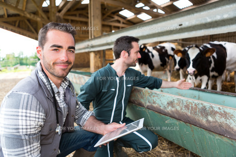 Farmer and veterinary working together in a barnの素材 [FYI00659582]