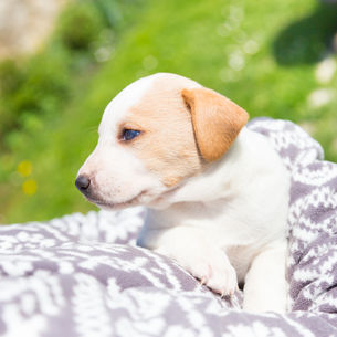 Mixed-breed cute little puppy in lap.の写真素材 [FYI00659798]