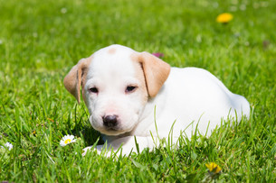 Mixed-breed cute little puppy on grass.の写真素材 [FYI00659799]