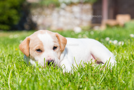 Mixed-breed cute little puppy on grass.の写真素材 [FYI00659803]