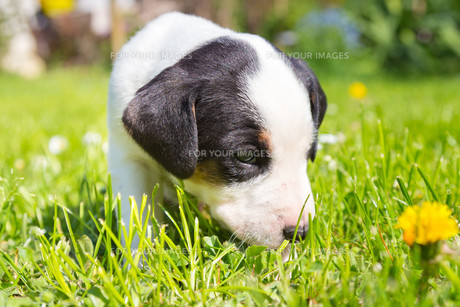 Mixed-breed cute little puppy on grass.の写真素材 [FYI00659804]