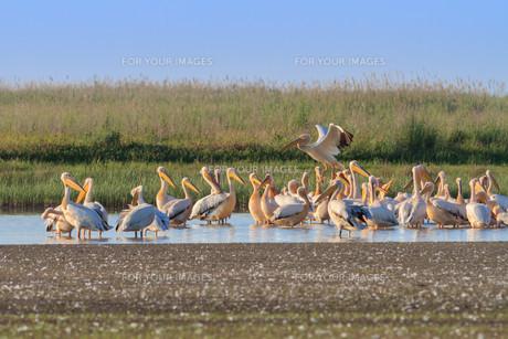 white pelicans (pelecanus onocrotalus)の素材 [FYI00660031]